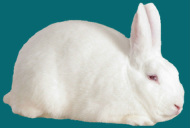 Florida White Rabbit Breeders Association